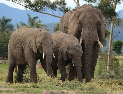 JUMBO FAMILY: An adult elephant with two youngsters. Picture: Supplied