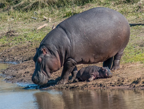Hippo calf Lihle and his mother, Nomakhosi