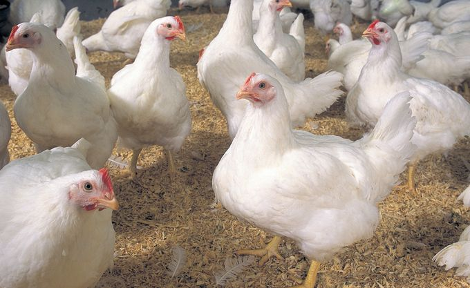 Poultry food business Chicken